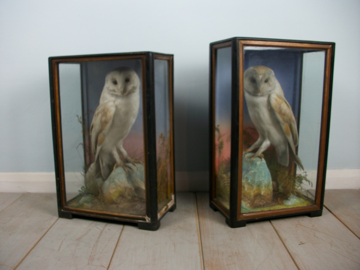 Victorian antique taxidermy by James Hutchings of Aberystwyth, Wales (2).JPG