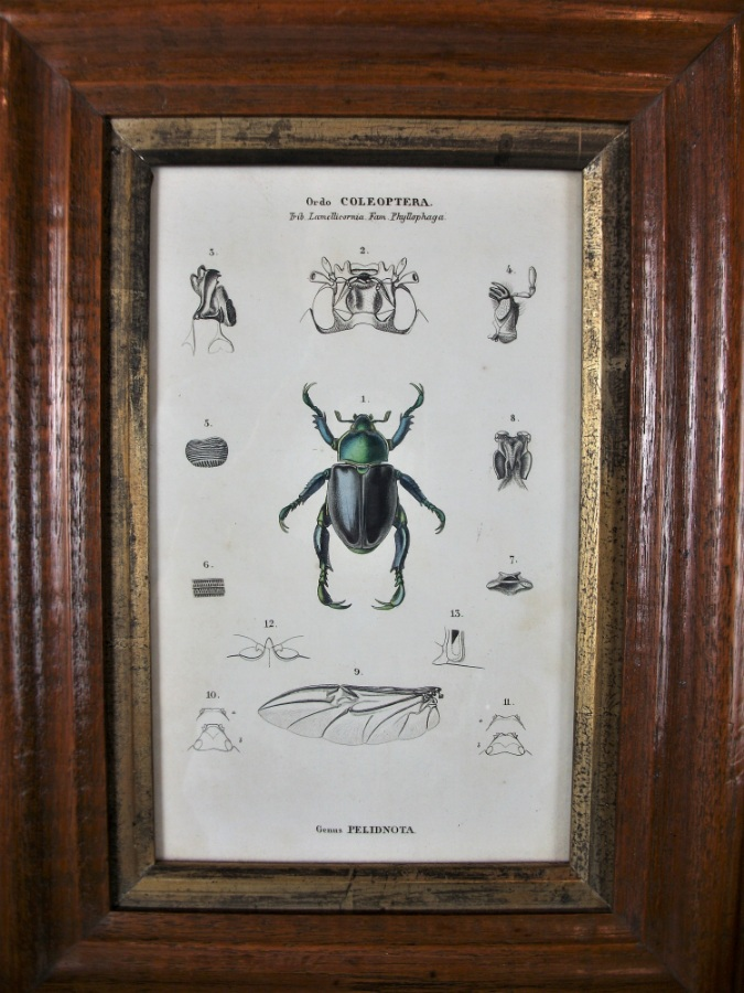 Pair of Coleoptera Prints in Moulded Oak Frame