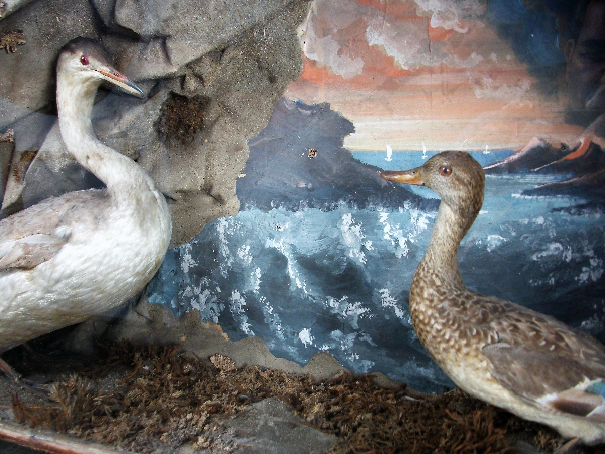 taxidermy diorama of a Great Crested Grebe and a Teal.