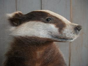 Taxidermy of a Badger